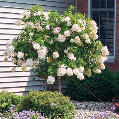 Limelight Hydrangea Tree-lime/green summer flowers transform to pink and burgundy in fall(front yard landscaping) Hydrangea Tree, Limelight Hydrangea, Hydrangea Not Blooming, Hydrangea Paniculata, Hydrangeas, Dwarf Hydrangea, Pink Hydrangea, Outdoor Landscaping, Front Yard Landscaping