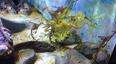 Aug 2015. Seadragons. Leafy fish. SEA Aquarium #MYtravelboard #SG #iheartSG #SingaporeInsiders