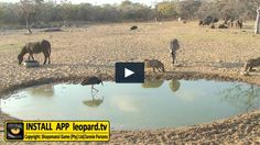 When foraging, a black stork walks around slowly in shallow water while stabbing at prey with the sharply pointed bill. Watch the video! Stork, Getting To Know You, Shallow, Walks, Wildlife, Articles, African, Birds, Tv