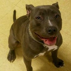 Candy - URGENT - GEORGIA S.P.C.A. in Suwanee, GA - ADOPT OR FOSTER - Young Spayed Female Am. Staffordshire Terrier Mix - Candy's a great young, very strong and athletic girl. She does well with other dogs her size and loves everyone she meets. Candy's looking for a forever home with a very active family that'll give her daily exercise and all the love she needs. Due to her size and strength, no small dogs or small children, please.