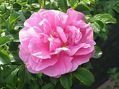 """Rugosa Jens Munk - Canadian Explorer rose - """"exceptionally resistant to disease"""" and exceptionally hardy (2b - 8b!)- free flowering medium shrub"""
