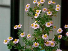 盆栽菊【小町桜】 : 四季の庭・錦鯉3