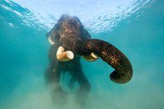 hazor:    Swimming Elephant - Andaman Islands, India (by James R.D. Scott)