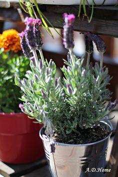 lawenda, ogród, taras, wiosna, dom Dom, Plants, Planters, Plant, Planting