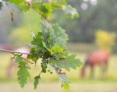 http://www.legendeligeia.fr/photos/le-chene-et-les-chevaux.html