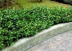 Ruscus hypoglossum  Low shrubs