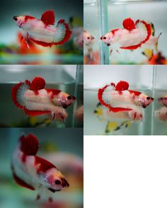 1000 images about betta on pinterest betta fish koi for Dragon koi for sale
