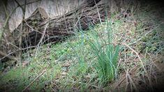 Felejtsük hát el, hogy a tavaszi zöldség csak fóliasátorban előnevelkedett primőr lehet, amikor kint virágzik a tyúkhúr, a gyermekláncfű és az ibolya, vétek nem megkóstolni őket! Gondoljuk csak el, micsoda energia lakozhat bennük! Coven, Lawn And Garden