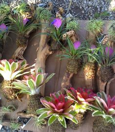 bromeliads on branches for garden walls