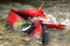 Southwest Alaska Salmon Habitat Initiative | The Conservation Fund