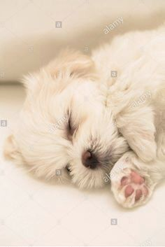 Untitled Cute Little Puppies, Cute Dogs And Puppies, Doggies, Kittens And Puppies, Baby Kittens, Hypoallergenic Dog Breed, Maltese Dogs, Teacup Maltese, Malteser