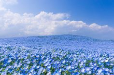 """Hitachi Seaside Park is a sprawling 470 acre park located in Hitachinaka, Ibaraki, Japan, that features vast flower gardens including millions of daffodils, 170 varieties of tulips, and an estimated 4.5 million baby blue eyes (Nemophila). The sea on blue flowers blooms once annually around April in an event referred to as the ""Nemophila Harmony."""
