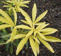 Ever-chartreuse linear leaves held horizontally, and fragrant white blooms in late spring - this is one ebullient plant that will lighten your mood when skies are gray. Drought-tolerant once established; x Minimum temperature: F Evergreen Shrubs, Foliage Plants, Drought Tolerant, Tropical Plants, Houseplants, Garden Plants, White Flowers, Bloom, Mexican