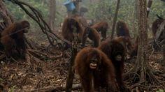Ένα τεράστιο οικολογικό έγκλημα, στο οποίο πρωταγωνιστικό ρόλο έχουν πολυεθνικές, συντελείται στη Σουμάτρα της Ινδονησίας, με την παράνομη αποψίλωση των τροπικών δασών για την παραγωγή φοινικέλαιου, ...