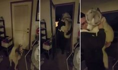 The cute video shows the dog patiently waiting at the door for his owner and making an impressive leap to give him a hug the minute the key turns in the lock.