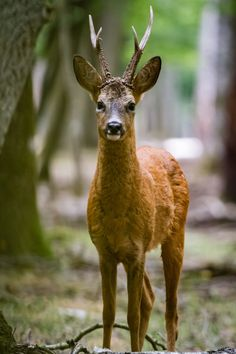 Roe deer - Capreolus capreolus Canon EOS 7D - Canon EF 100–400mm @400mm 1/50s - f/5.6 - ISO 3200