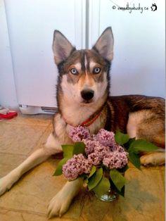 Jenna Drady dog with a bouquet of lilacs.