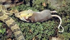 serpiente-comiendo-raton