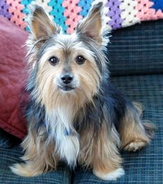 A Corkie!  Yorkie and Corgi mix...what a cutie!  -- Oh wow! Somehow it works!