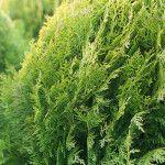 6 μυστικά για φροντίδα καμέλιας   Τα Μυστικά του Κήπου Camellia, Herbs, Herb, Spice