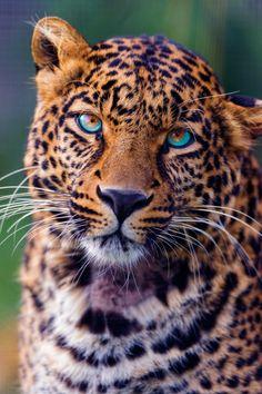 Pensive Leopard Portrait | vividessentials