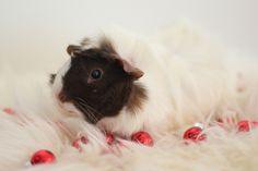 Guinea pig by astakatrin, via Flickr
