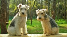 wire fox terrier and lakeland terrier. looks like trouble.