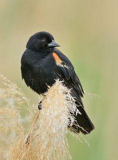 red winged blackbird 3/2013 sighting