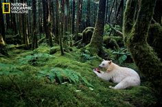 National Geographic: Land of the Spirit Bear - Article**