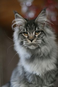 ♔ Maine Coon cat