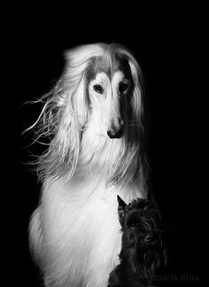 Afghan Hound Dogs #DogPhotography #Photography