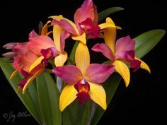 Cattlianthe  Granata Sunrise