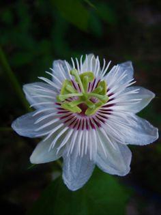 """Résultat de recherche d'images pour """"passiflora caerulea constance elliott"""""""