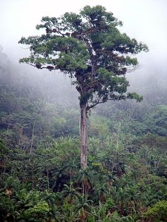 'Patriarca de Floresta' tree of Brazil.  One of the biggest trees in the Atlantic Forest, there are some old trees in Santa Rita do Passa Quatro and near Petrópolis. This one is thought to be at least 3 000 years old, almost certainly the oldest deciduous tree on the continent.