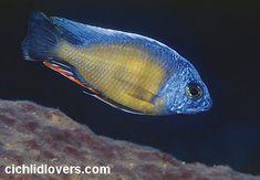 "Protomelas ""steveni taiwan"" Taiwan Reef"