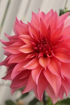 Dahlia coral-these Flowers Garden Love