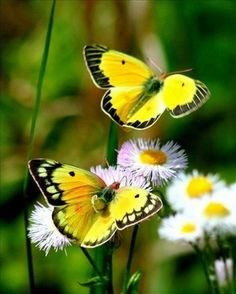 "A terrific image of one butterfly saying "" YELLOW"" to his pal ps sorry if that caption BUGged you"
