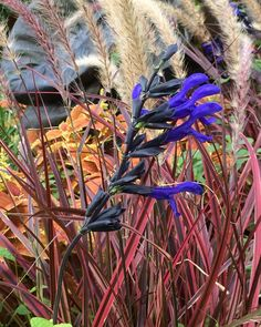 Salvia guaranitica 'Black & Blue' with Pennisetum 'Fireworks', Colocasia and coleus