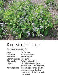 #vår #sommar Brunnera macrophylla - Kaukasisk förgätmigej Herbs, Herb