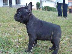 Ramona !!! French bulldog