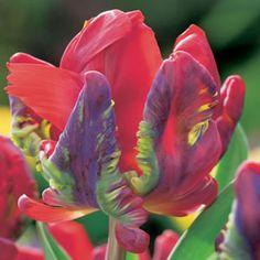 Tulipa Rococo_15