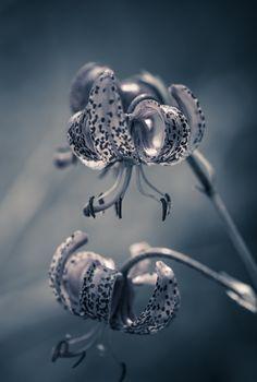 Alpine lilies by Cristian Sirbu on 500px