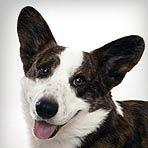 Cardigan Welsh Corgi : Dog Breed Selector : Animal Planet