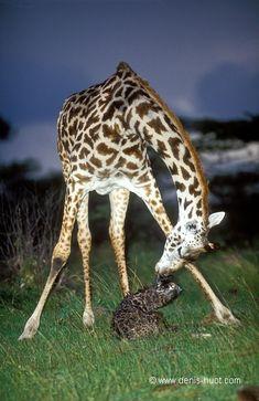 A sweet giraffe moment