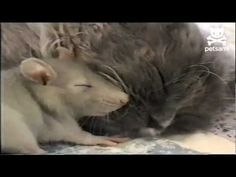 Here's something you don't see very often! Watch as a mouse curls up next to a sleeping kitty.    For more hilarious pet videos check out http://www.petsami.com  Follow Petsami on Twitter http://www.twitter.com/petsami  Become a fan of Petsami on Facebook http://www.facebook.com/Petsami    Check out these great deals on Frontline Products from Petsami...