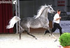 Polish Arab horse - Etnologia.  During Pride of Poland Arabian Horse sale in Janow Podlaski on August 12,2012 Shirley Watts bought mare Etnologia for 370 thousand Euros.