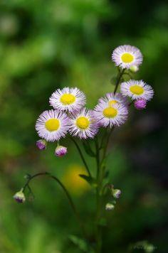 HAVE A NICE DAY — uyamt: 春紫菀(はるじおん) Philadelphia fleabane...