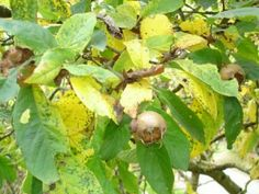 néflier Fruit, Nature, Shrub, Tourism, Vacation, Naturaleza, The Fruit, Off Grid, Natural