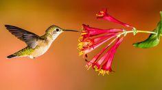 10 Plants for Hummingbirds -- Trumpet creeper (Campsis radicans), Carolina jessamine (Gelsemium sempervirens), Coralbells (Heuchera hybrids), Jewelweed/spotted touch-me-not (Impatiens capensis and I. pallida), Scarlet gilia (Ipomopsis aggregata), Cardinal flower (Lobelia cardinalis), Trumpet honeysuckle (Lonicera sempervirens), Beebalm (Monarda), Penstemons, Scarlet sage (Salvia coccinea).