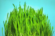 Die grünen gesunden Halme: Fakten zu Weizengras...